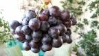 Premiers raisins sur nos marchés.